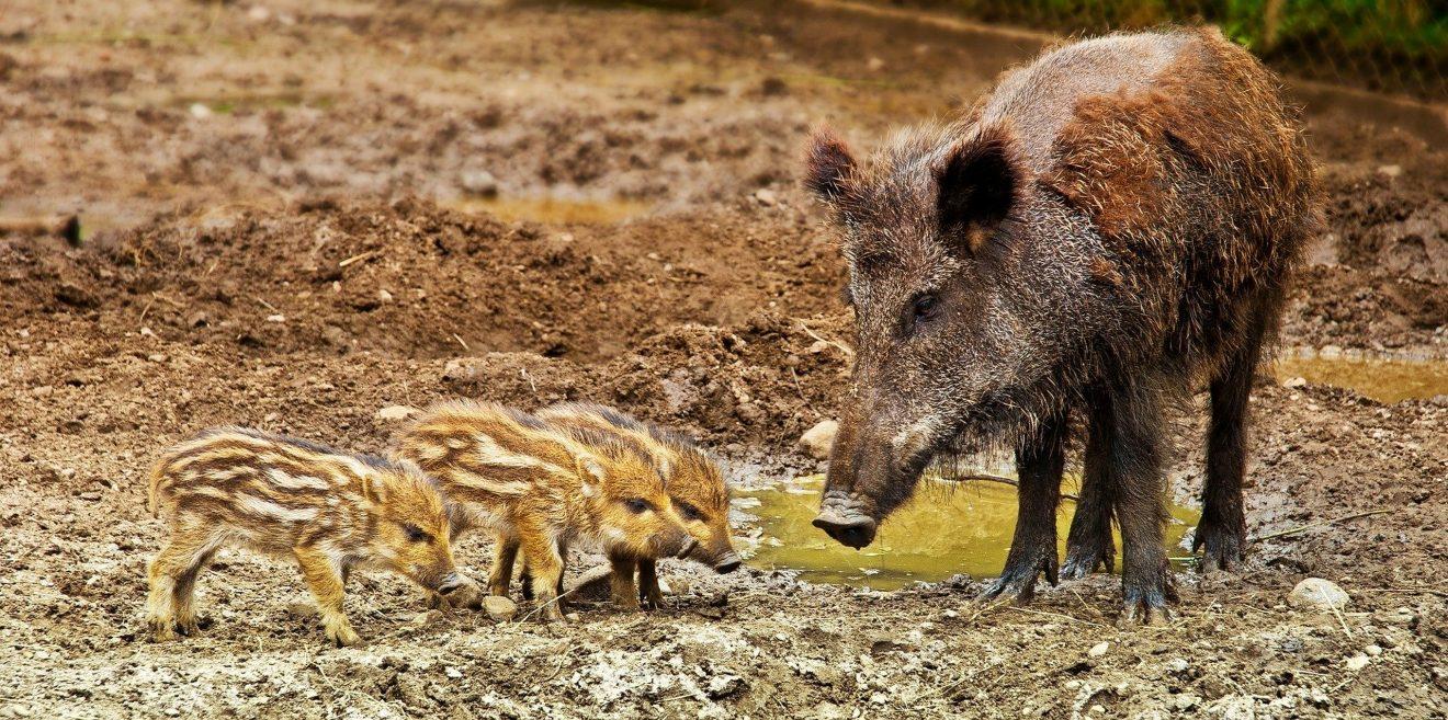 Afrikanische Schweinepest erreicht Brandenburg - Zwei Interviews mit Prof. Dr. Dr. Sven Herzog