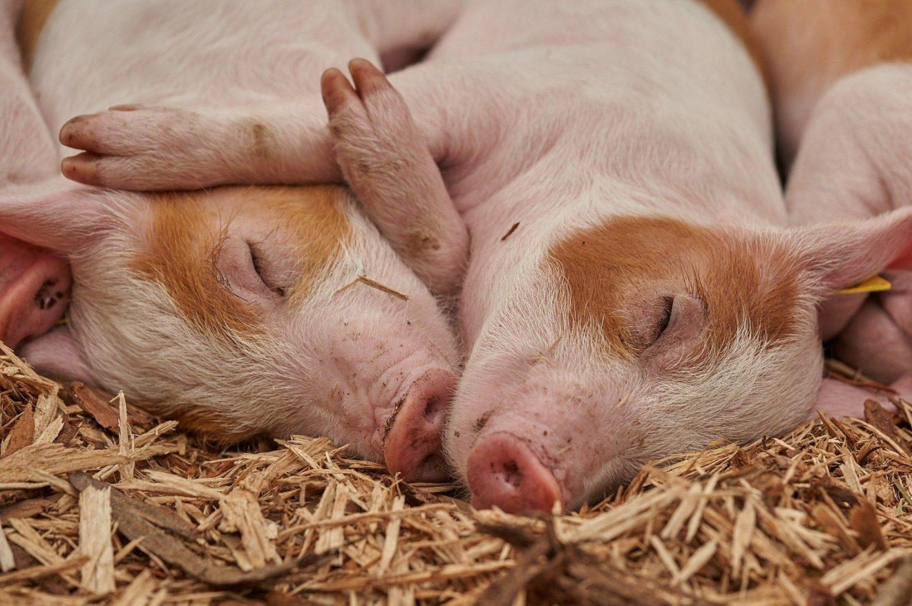 Glückliche Schweine - Artgerechte Sauenhaltunghaltung ist möglich