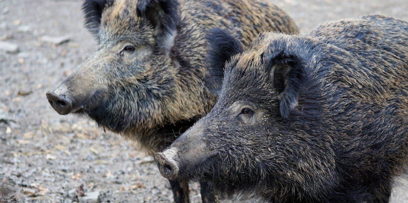 Link-Tipp: Diese Regionen sind von Schweinepest-Maßnahmen betroffen