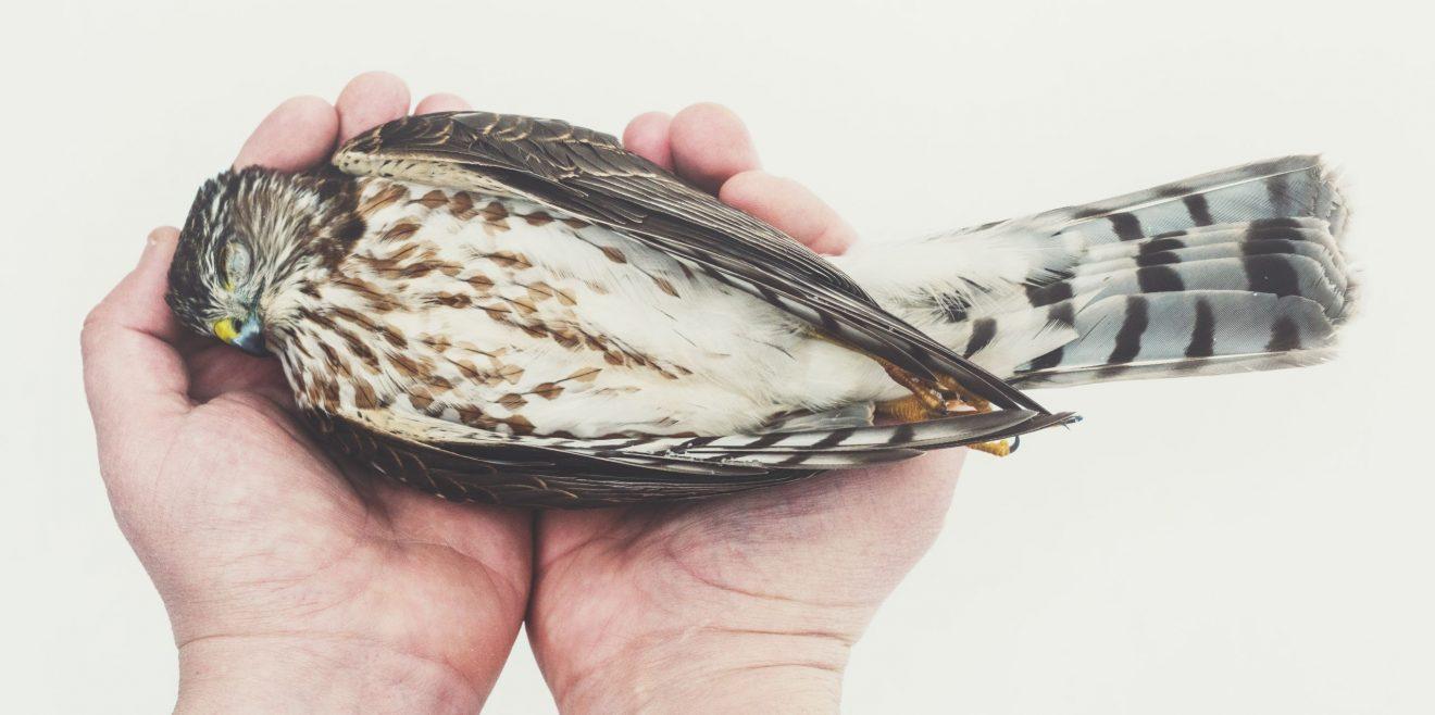Schadstoffmonitoring von Greifvögeln und Eulen
