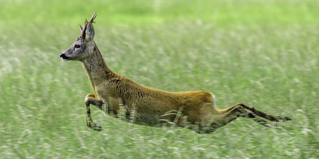 Der mittelgroße Wurf – zwischen Wildvernichtungsgesetz und moderner Jagd