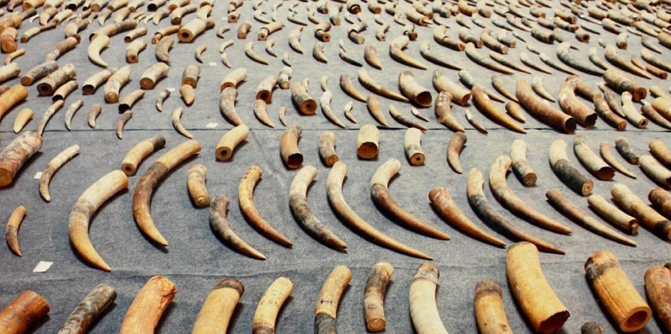 Illegaler Handel mit geschützten Tieren – Schlag gegen die Wilderer Mafia