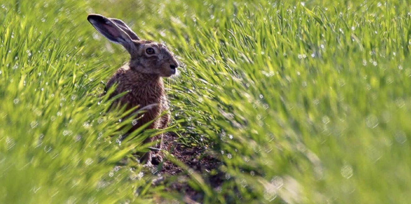 """""""Hallo, mein Name ist Hase!"""" - Über die vielen Herausforderungen für den Feldhasen"""