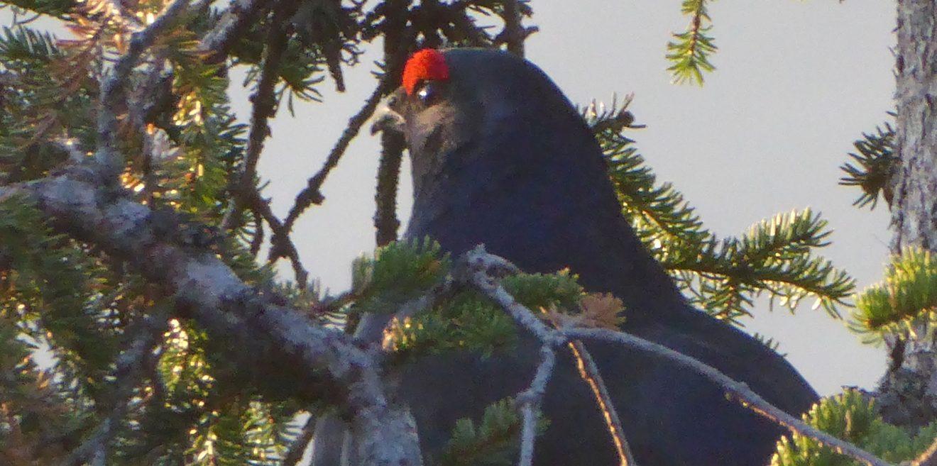 Wildcamper gefährden Birkhuhn - Wer die Vogelbalz stört