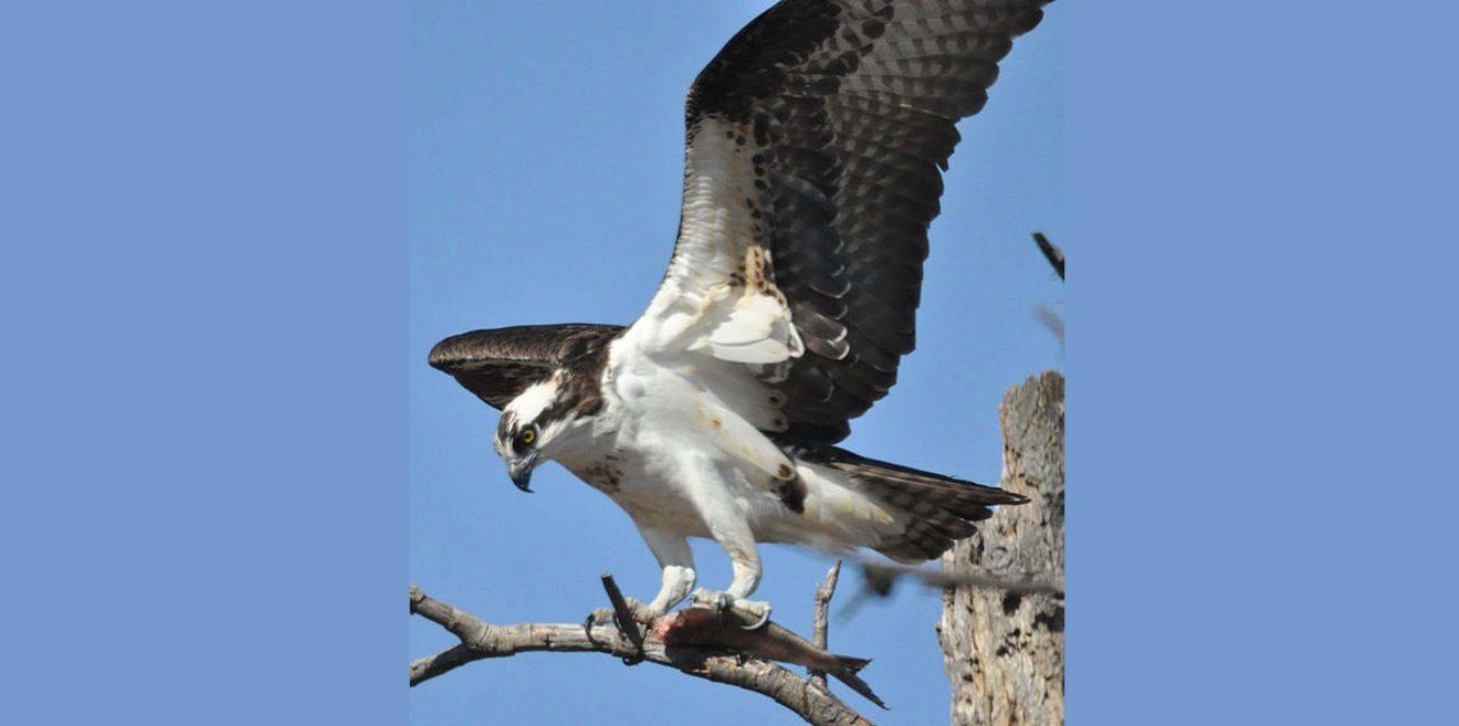 Verletzter Fischadler trifft in Gleiritsch auf Helfer