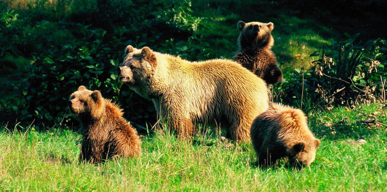 Rumänien ringt um eine Lösung in der Bärenfrage