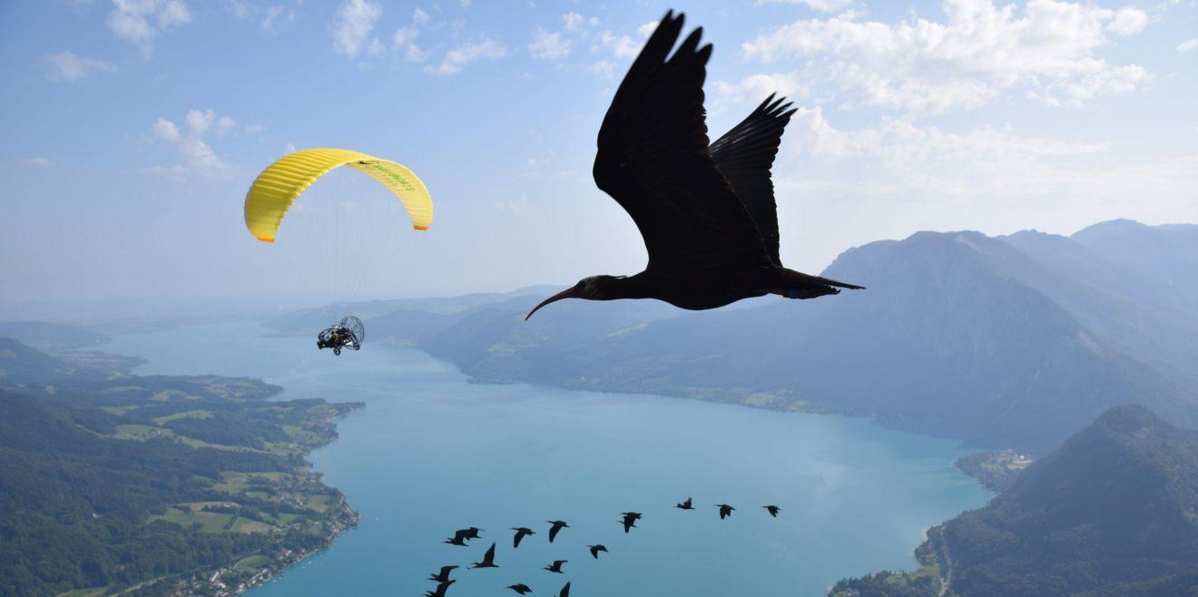 (c)Waldrappteam.eu - Flight over Lake Mondsee, Training 2021