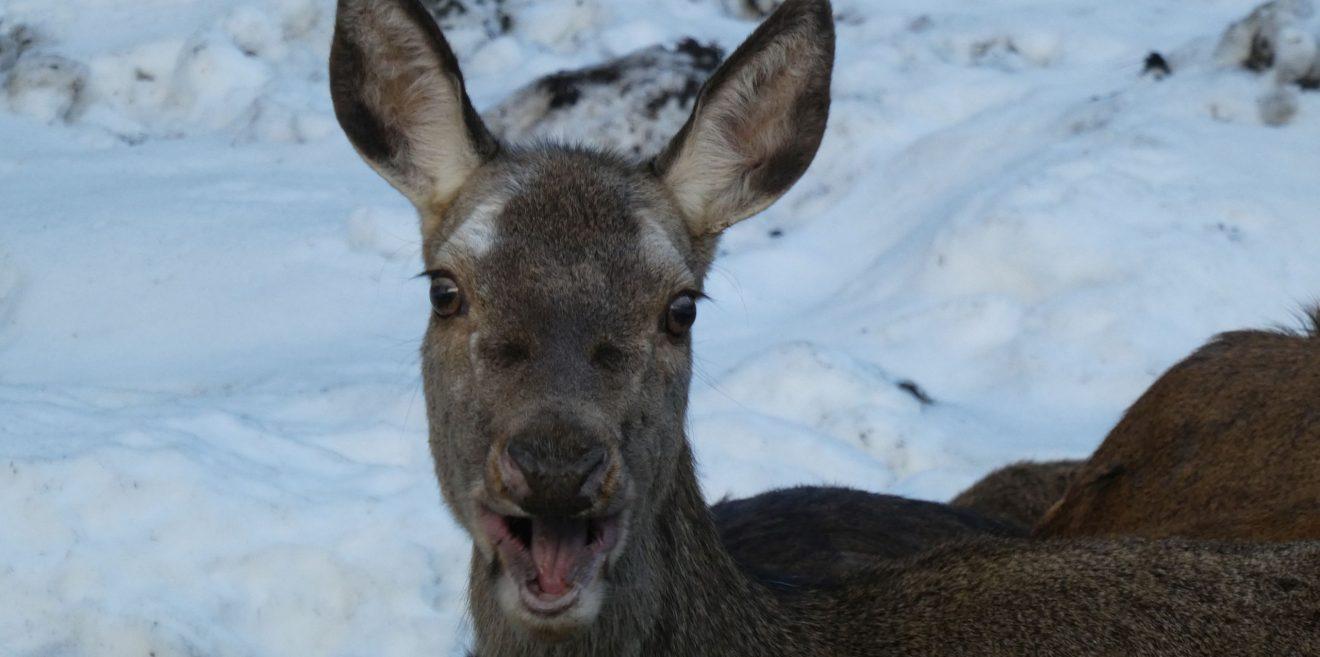 Jäger erschießt Rehgeiß und Hirschkalb im Gehege
