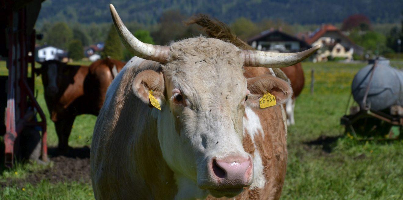 Warum Kühe Hörner haben sollten